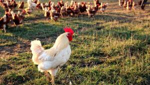 Hahn vor seinen Hennen